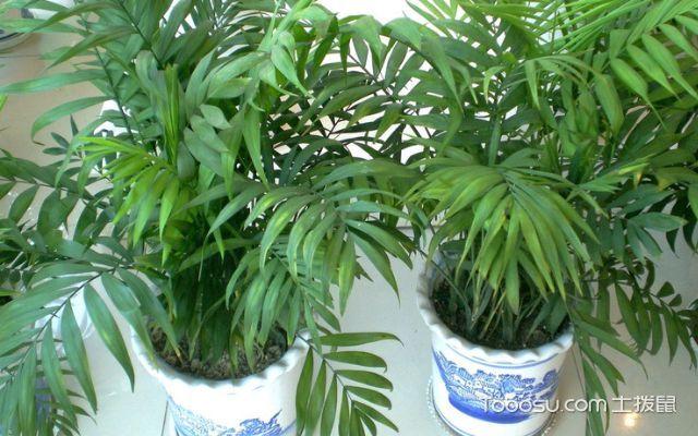 袖珍椰子有毒吗,养殖方法