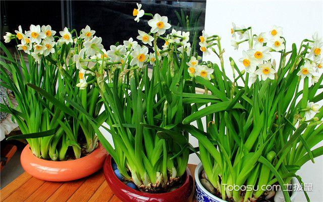 水仙花养殖注意事项
