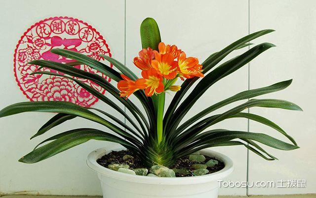 客厅最适合摆放什么植物—君子兰