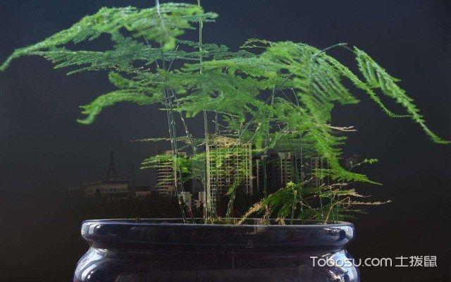 矮云竹盆景的养殖方法,看完