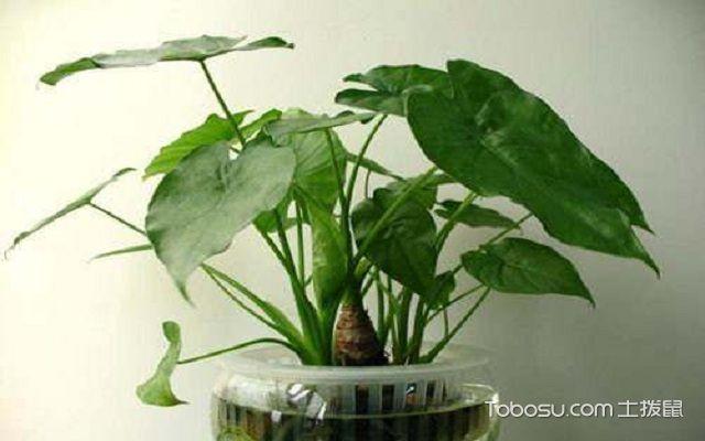 家里养什么植物风水好金钱树