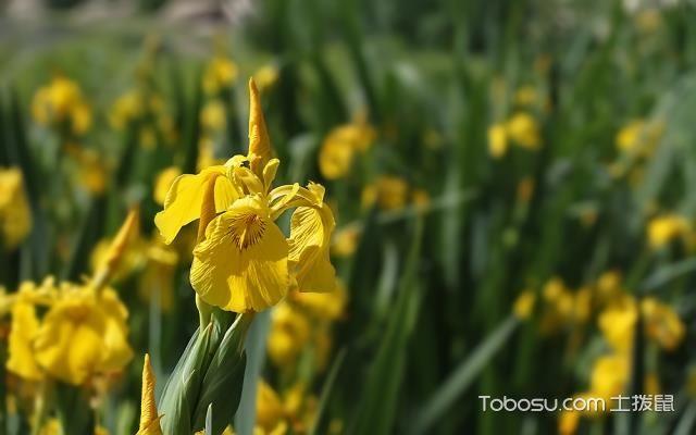 黄菖蒲的种植技术,黄菖蒲花语,黄菖蒲图片