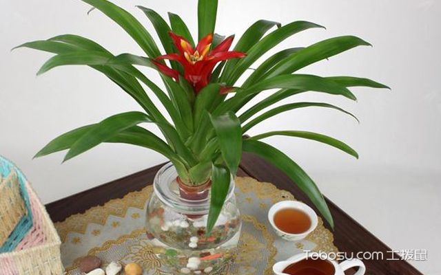在卧室摆放凤梨花可以吗