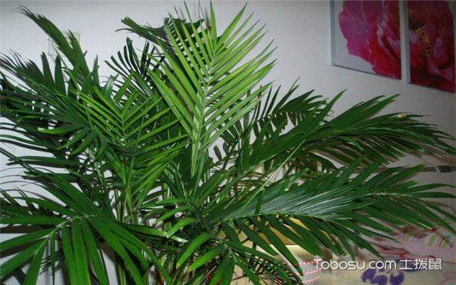 富贵椰子叶子枯萎补救方法