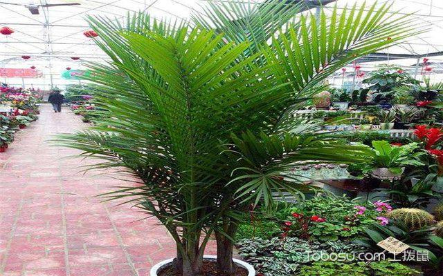 富贵椰子叶子补救方法