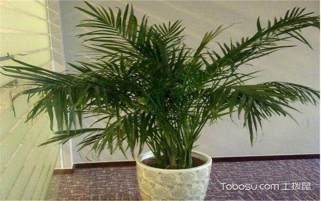 富贵椰子叶子干枯怎么办之温度