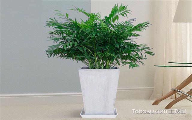 富贵椰子叶子干枯怎么办之防虫害