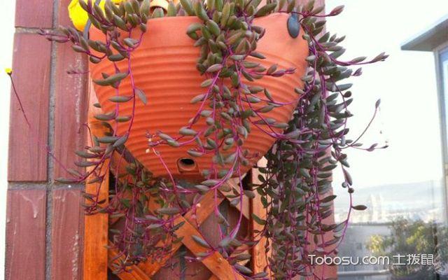 紫玄月扦插方法与养护技巧介绍