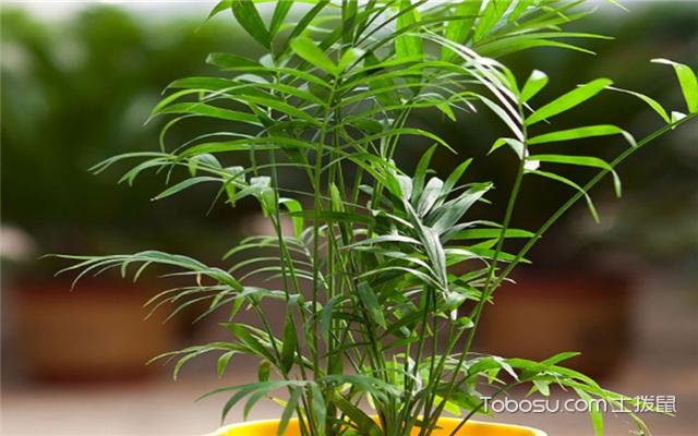 散尾葵和袖珍椰子的区别之观察叶片