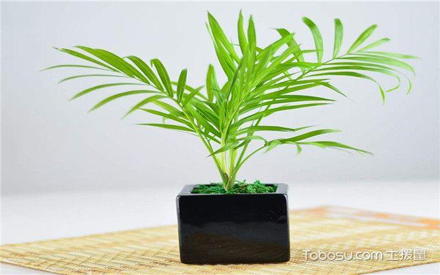 散尾葵和袖珍椰子养殖注意事项之繁殖方式