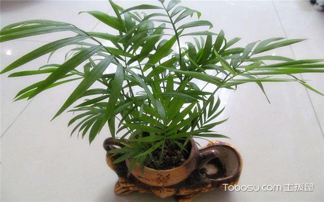 凤尾竹和袖珍椰子的区别之袖珍椰子