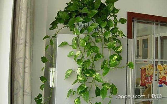 除甲醛植物排名榜—绿萝