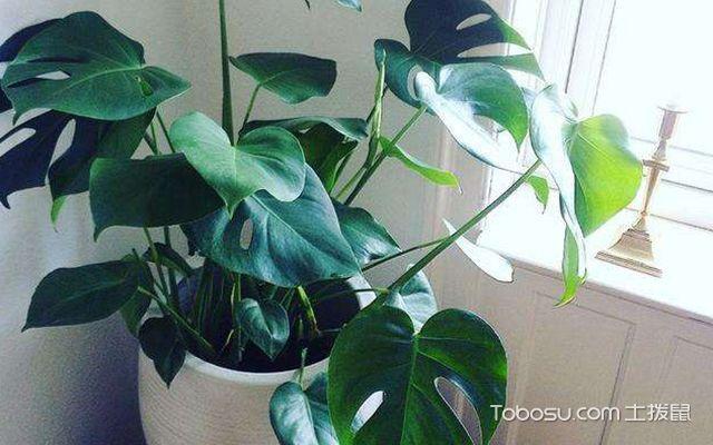 除甲醛植物排名榜—龟背竹