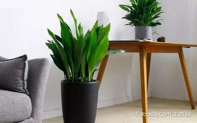除甲醛植物排名榜—一叶兰