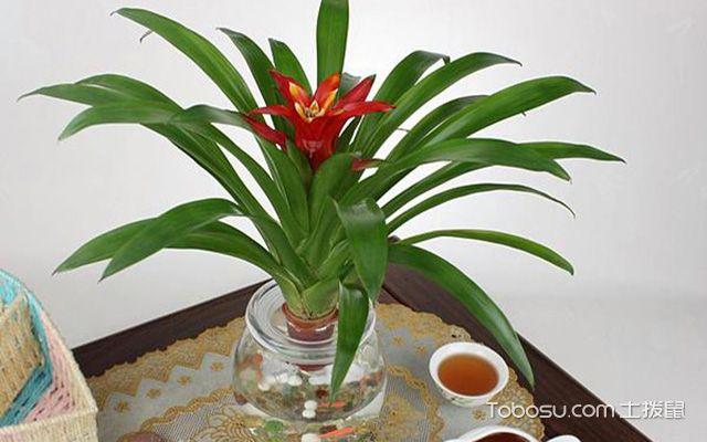 客厅适合放什么植物之凤梨花