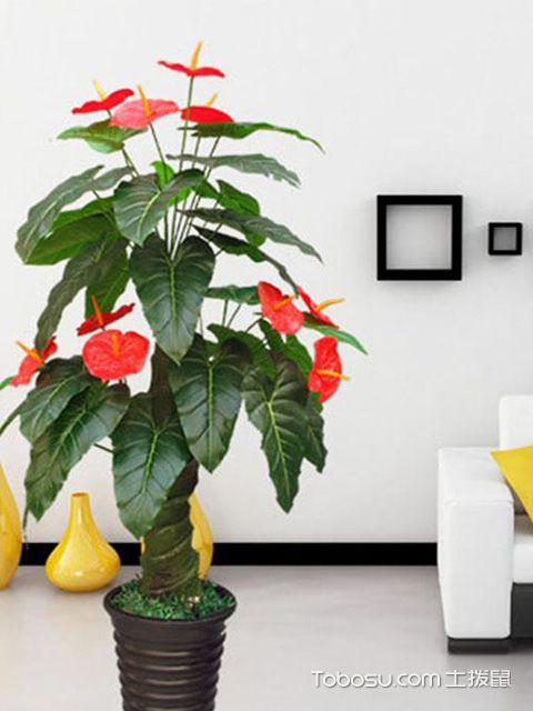 客厅适合放什么植物之红掌