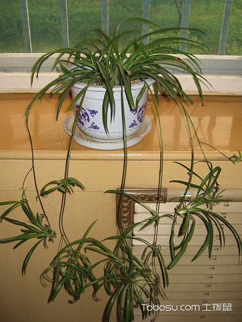 客厅适合放什么植物之吊兰