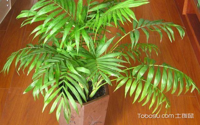 富贵椰子叶子干枯怎么办—案例图1