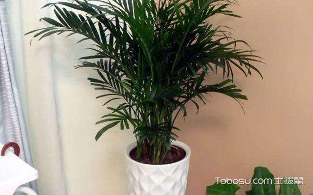 富贵椰子叶子干枯怎么办—案例图3