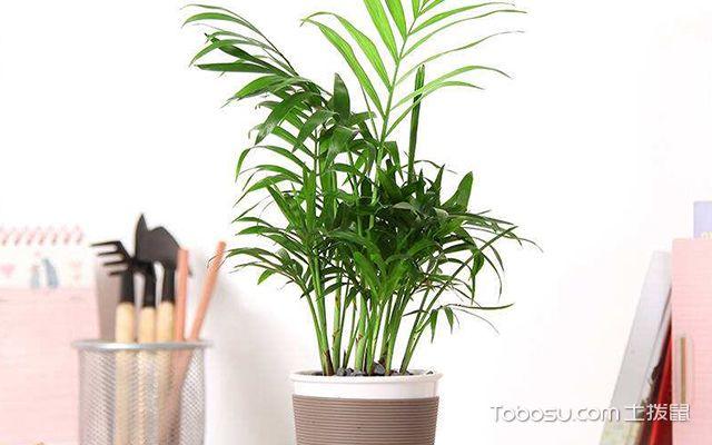 富贵椰子叶子干枯怎么办—案例图4