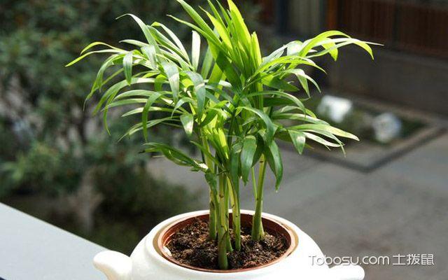 袖珍椰子的繁殖方法是什么