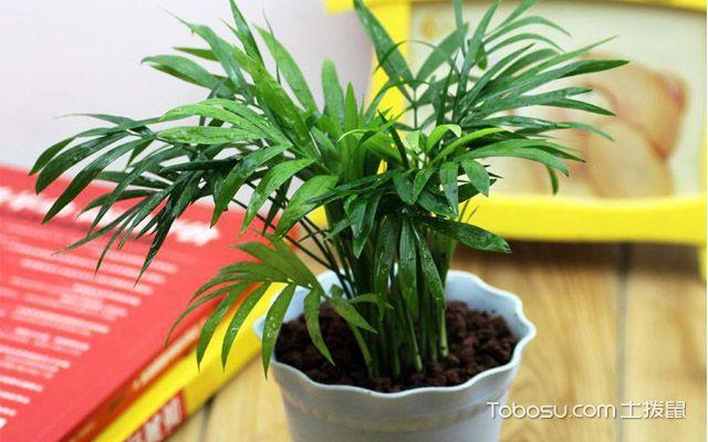 袖珍椰子的繁殖方法与栽培技巧