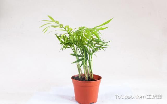 袖珍椰子de繁殖方法与栽培技巧介绍
