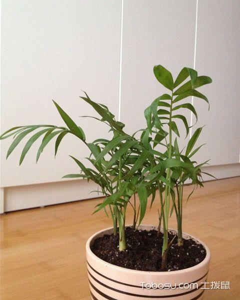 袖珍椰子的栽培技巧是什么