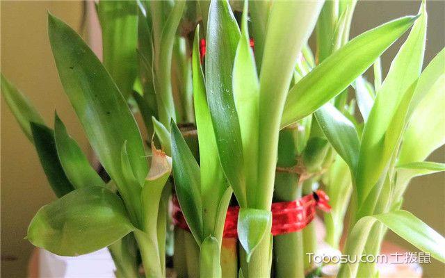 富贵竹好养吗