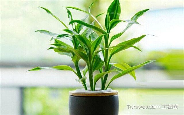 哪些植物适合冬天养之富贵竹