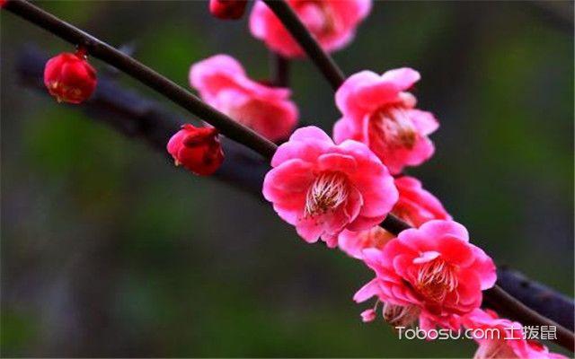 哪些植物适合冬天养之梅花