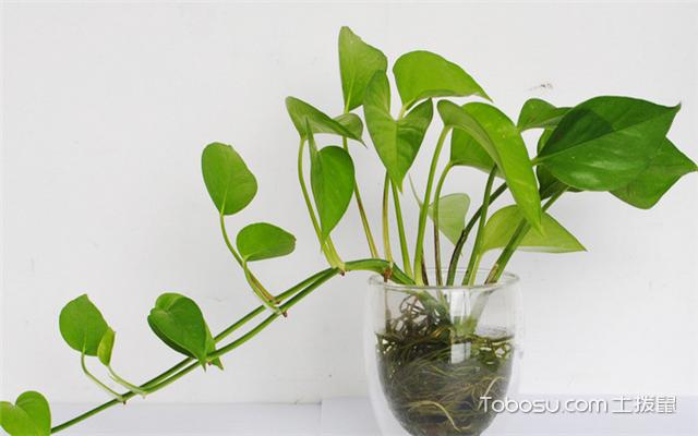 哪些植物适合冬天养之绿萝