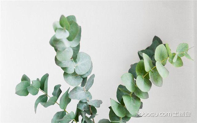 北欧风格和什么植物更搭之尤加利