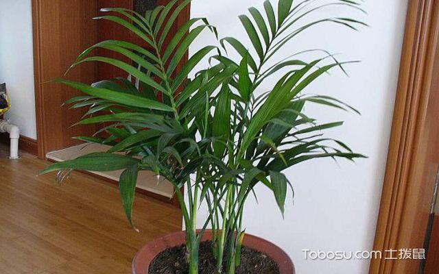 凤尾竹的风水作用是什么