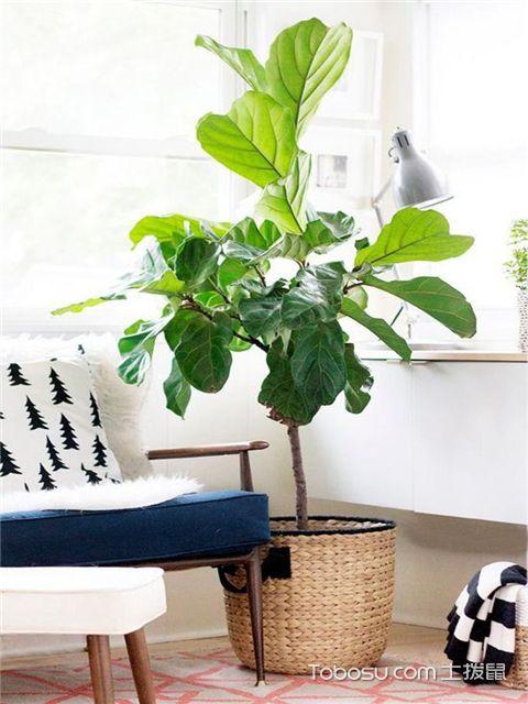 有哪些绿植适合放在室内-琴叶榕