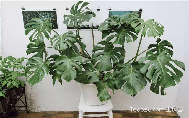 有哪些绿植适合放在室内-龟背竹