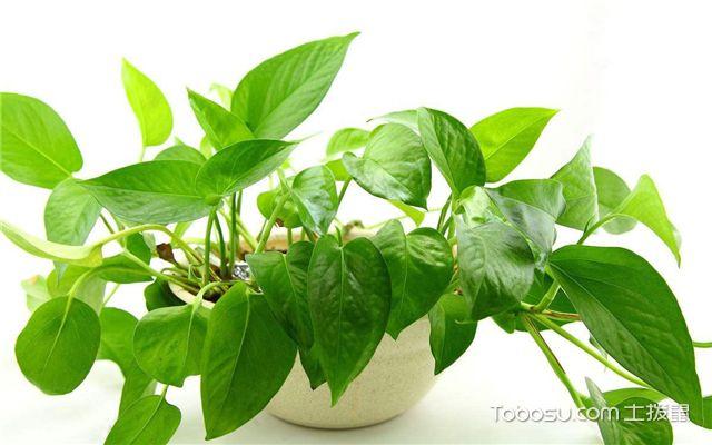 有哪些绿植适合放在室内-绿萝