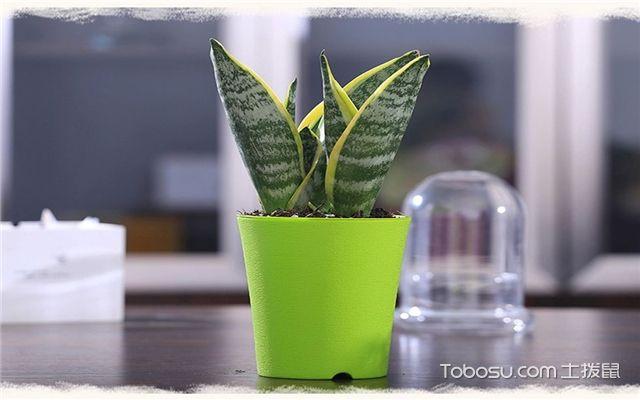有哪些绿植适合放在室内-虎尾兰