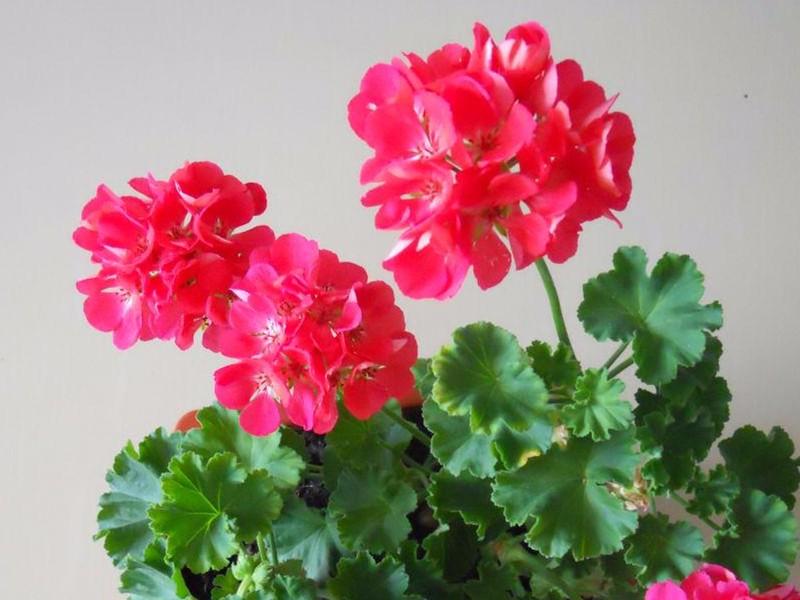 天竺葵的养殖方法,正确栽培很重要